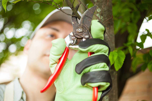 Tree pruning hawthorn