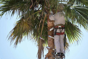 cutting palm tree fronds
