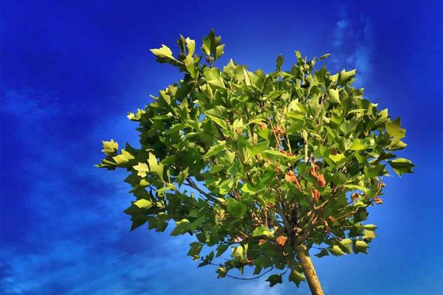 Tree transplanting