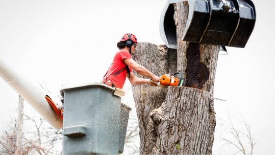 Professional arborist performing a tree removal