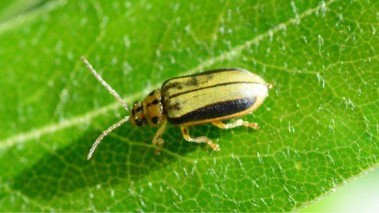 Elm leaf beetle treatment